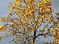 Guayacán amarillo (Tabebuia chrysantha) (14256003206).jpg