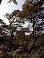 Gurjan tree forest.jpg