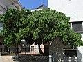 HK Shek Mun On Muk Street tree Sept-2012.JPG