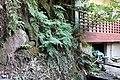 Habitat of Histiopteris incisa Yunomine Hot spring district F.jpg