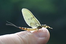 Mayfly on human finger