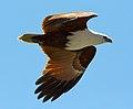 Haliastur indus -Karratha, Pilbara, Western Australia, Australia -flying-8 (2).jpg