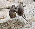 Hamadríade (Papio hamadryas), Tierpark Hellabrunn, Múnich, Alemania, 2012-06-17, DD 17.JPG