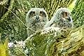 Hamburg DuvenstedterBrook owl nestling 1.jpg