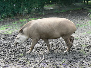 Odd-toed ungulate - South American tapirs are among the few species of extant perissodactyl with a trunk.