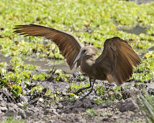 Hammerkop (Scopus umbretta) - Flickr - Lip Kee