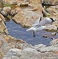 Hartlaub's Gulls (Chroicocephalus hartlaubii) (32479808500).jpg