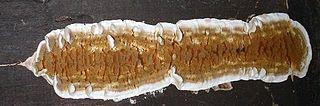 <i>Serpula</i> (fungus) genus of fungi