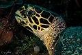 Hawksbill profile, pantai kollo soha, wakatobi, 2018 (44900103525).jpg
