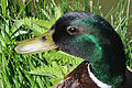 Head of duck.jpg