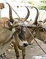 Headshot oxen Costa Rica.jpg