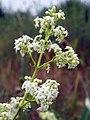 Hedge Bedstraw (Galium mollugo) (5817274407).jpg