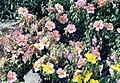 Helianthemum nummularium 'Wisley Pink'.jpg