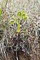 Helleborus foetidus in Aveyron (12).jpg