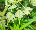 Helleborus foetidus in Lozere (1).jpg