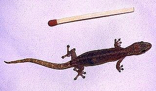 <i>Hemiphyllodactylus</i>