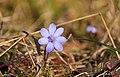 Hepatica nobilis Meiningen Dreißigacker 2015-04-10 HBP.jpg