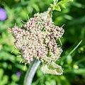 Heracleum sphondylium in Morzine (1).jpg
