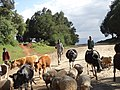 Herding-kenya.jpg