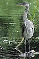 Heron Bushy Park 02.JPG