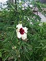 Hibiscus cannabinus 7065.JPG