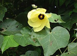 http://upload.wikimedia.org/wikipedia/commons/thumb/7/71/Hibiscus_tiliaceus.jpg/250px-Hibiscus_tiliaceus.jpg