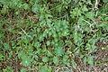 Hilzingen - Hohenkrähen - Euphorbia cyparissias 02 ies.jpg