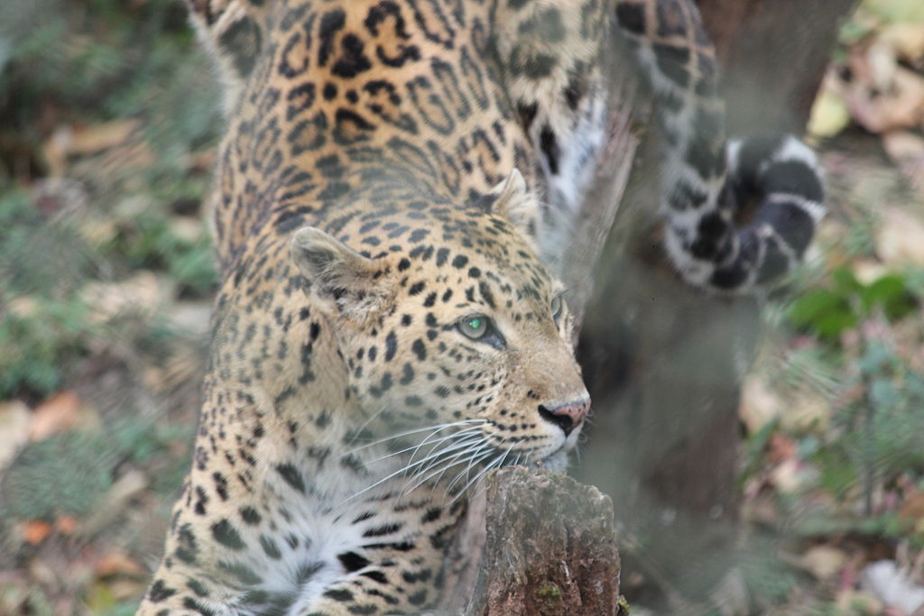 Himalayan Leopard.JPG