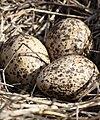 Himantopus leucocephalus eggs - Christopher Watson.jpg
