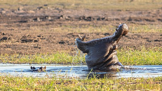 Hippos (Hippopotamus amphibius), Chobe National Park, Botswana.