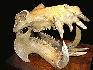 A hippo's skull, showing the large canine teet...