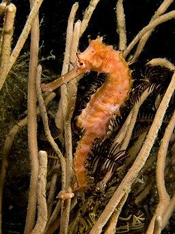 Hippocampus hystrix (Spiny seahorse)