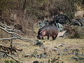 Hippopotamus amphibius in Tanzania 2810 Nevit.jpg