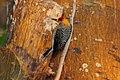 Hoffmanns Woodpecker (Melanerpes hoffmannii) (5771781083).jpg
