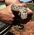 Hognose Snake.jpg