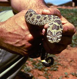 ... snake the Puff Adder, Beach Adder, or Blowing Viper