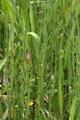 Hoher Vogelsberg Breungeshainer Heide Geiselstein Equisetum palustre b.png