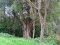 Hohle Weide am Beibach - panoramio.jpg