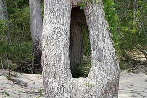Tree hollow - Image: Holey Tree (772111164)