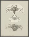Homola spinifrons - - Print - Iconographia Zoologica - Special Collections University of Amsterdam - UBAINV0274 095 24 0004.tif