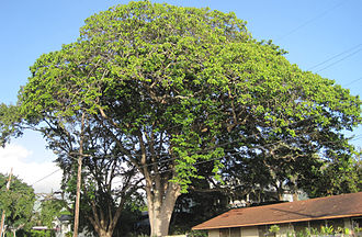 Hura crepitans - Image: Honolulu Grace Cooke sandboxtree full