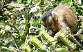 Hooded Capuchin (Sapajus cay) eating Combretum flowers.jpg
