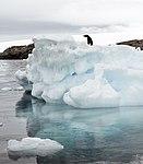 Hope Bay-2016-Trinity Peninsula–Adélie penguin (Pygoscelis adeliae) 08.jpg