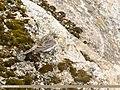 Horned Lark (Eremophila alpestris) (33192191313).jpg