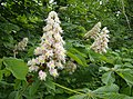 Horse chestnut flowers - geograph.org.uk - 438800.jpg