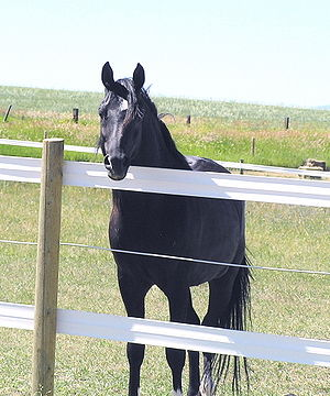 DNA tested homozygous black Arabian Stallion s...