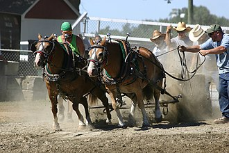 Horse pulling - A team of horses pulling a stone boat at a horse pulling event.