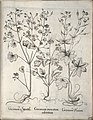 Hortus Eystettensis, 1640 (BHL 45339 035) - Classis Verna 24.jpg