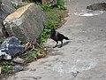 House crow-1-yercaud-salem-India.jpg