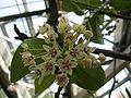 Hoya australis1.jpg